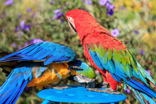 Couple Of Two Multi-colored Macaw Parrots Kissing And Chatting While Sitting On A Chair On The Beach In A Hotel In Turkey