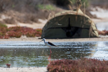 Black-winged Stilt And Camouflaged Photographer Hiding Place