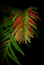 Close Up Shot Of Conifer Tree With Water Droplets