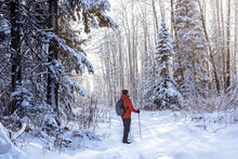 Man With Nordic Walking Poles Hiking In Snow-covered Winter Nature. Outdoor Winter Activity And Enjoy.