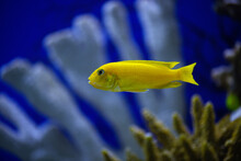 The Hummingbird Fish Cichlid In The Aquarium. Yellow Lemon Cichlid. (Labidochromis Caeruleus)