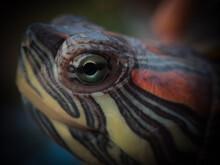Turtle Eye Close Up