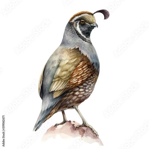 Fotografie, Obraz Crested quail bird watercolor illustration