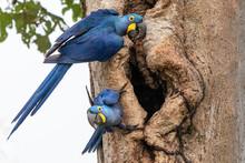 Hyacinth Macaw Pair In Tree Hole Nest, Pantanal