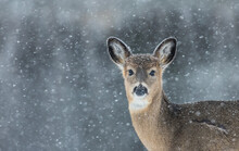 Young Deer Profile In Wild