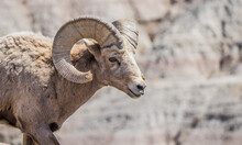 Bighorn Sheep In Badlands