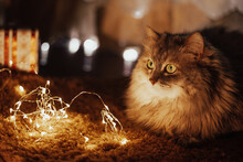 Cute Beautiful Pet Gray Striped Cat Lying On A Red Blanket Under The Christmas Tree