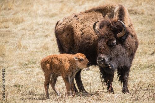 Vászonkép American bison grazing in prairie