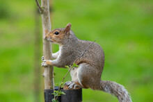Portrait Of An Eastern Gray Squirrel (sciurus Carolinensis) Sitting On A Wooden Post