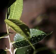 Home Plant Ficus Benjamina On Dark  Background Close Up, Selective Focus. Green Leaves Backdrop.Poster