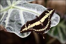 Mariposa Papilo Thoas Amarilla Y Negra Posada Sobre Una Hoja