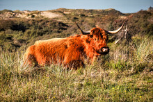 Highlander Animal Bison Like With Horns Laying In Nature