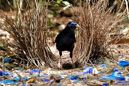 Foto Male Satin Bowerbird at Bower