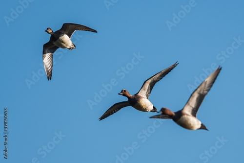 Fotomural Eurasian Wigeon (Mareca penelope) birds in flight in sky
