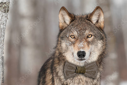 Canvas Print Grey Wolf (Canis lupus) Portrait - captive animal
