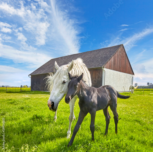 Foto Beautiful gray mare with foal on the pasture, (black and white)