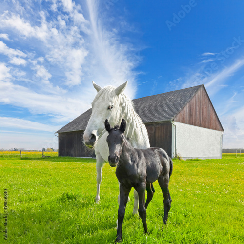 Beautiful gray mare with foal on the pasture, (black and white) Fotobehang