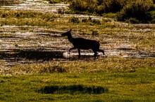 Young Moose Walking