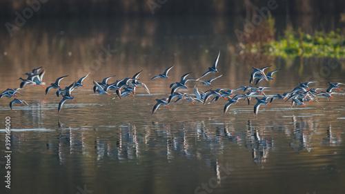 Fotografie, Obraz Common Redshank, Redshank, Tringa totanus - birds in the flight in the sunrise