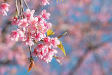 Pink Wild Himalayan Cherry, Prunus Cerasoides Tree In Thailand.