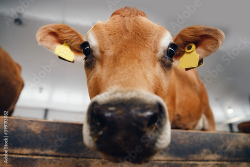 Foto Cows red jersey with automatic collar