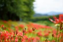 空と山と川がボケている背景の川の土手沿いの彼岸花の蕾にトンボ