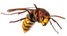 European Hornet In Latin Vespa Crabro