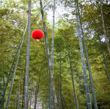Paper Lantern Hanging From Bamboo Trees.