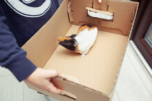 The Boy Is Holding The Guinea Pig In The Paper Box As A Gift From His Parents
