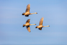 Flock With Whooper Swans Flying In The Sky