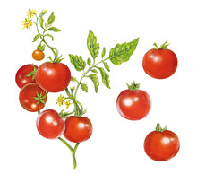 Realistic Illustration Of Tomato Plant ( Solanum Ycopersicum) With Leaves, Flowers And Tomatoes