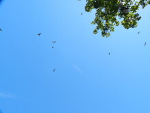 A Swallow Tail Scissor Tail Kite Soaring With Grace And Elegance In The Southern Sky
