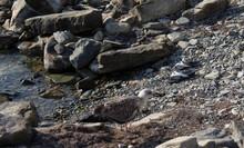 A Gull Carries A Stone In Its Beak