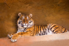 A Portrait Of A Posing Tiger.
