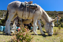 Donkeys For Water Supply On Isla Del Sol In Lake Titicaca Bolivia, Close To The Border With Peru.