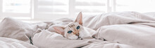 Blue-eyed Oriental Breed Cat Lying Resting On Bed At Home Looking At Camera. Fluffy Hairy Domestic Pet With Blue Eyes Relaxing At Home. Adorable Furry Animal Feline Friend. Web Banner Header.