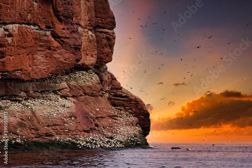 Largest single colony of northern gannets in the world on bonaventure island nea Fototapet