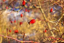 Winter Wild Rose Berries On Grass Background
