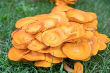 Omphalotus Olearius.Bright Orange Poisonous Mushroom, Fungus. Bioluminescent. Beautiful Mushrooms - Image