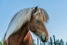Close Up Portrait Of A Beautiful Chestnut Colored Icelandic Horse With White Mane, Against A Blue Sky In Evening Sunlight
