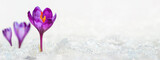 Crocuses - blooming purple flowers making their way from under the snow in early spring, closeup with space for text, banner