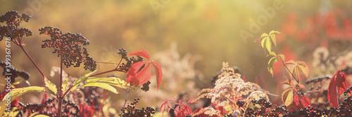 Foto Autumn view of black elderberry in the rays of the autumn sun, banner with selec