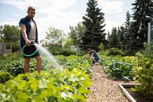 Man Watering Vegetables In Community Garden