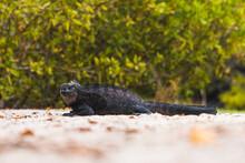 Marine Iguana In Galapagos Islands