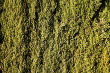 Thick Green Boxwood Plant Surface - Background Texture