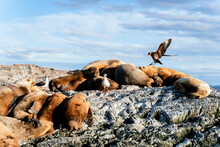 Sea Lions Resting On Top Of A Rock.