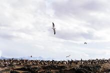Seagulls Flying Above Cormorants.