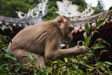 Monkey Feeding On The Fruits Of A Tree