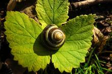 Snail Shell Lying On Green Leaf