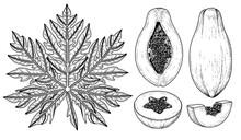 Set Of Papaya Fruit Hand Drawn Elements Botanical Illustration